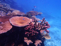 Great Barrier Reef. Coral and fish on the Great Barrier Reef, Australia Royalty Free Stock Photography