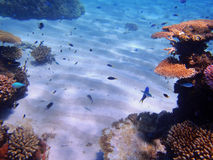 Great Barrier Reef. Coral and fish on the Great Barrier Reef, Australia Stock Images