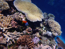 Great Barrier Reef. Coral and fish on the Great Barrier Reef, Australia Royalty Free Stock Image