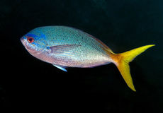 Great barrier reef fish. (jack yellowtail Royalty Free Stock Photos