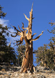 Great Basin Bristlecone Pine Stock Image