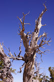 Great Basin bristlecone pine on ridge of Spectra Point Royalty Free Stock Photography