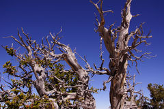 Great Basin bristlecone pine on ridge of Spectra Point Stock Image