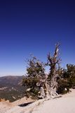 Great Basin bristlecone pine on ridge of Spectra Point Royalty Free Stock Photo