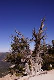 Great Basin bristlecone pine on ridge of Spectra Point Royalty Free Stock Photos