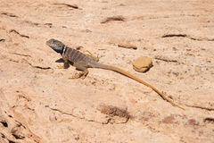 Great basin collared lizard Stock Photos