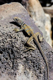 Great basin collared lizard, crotaphytus bicinctores, death vall Stock Image
