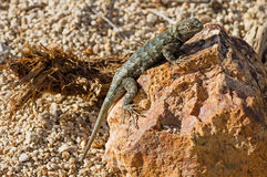 Great Basin Fence Lizard Stock Image