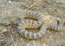 Great Basin Rattlesnake, Crotalus oreganus lutosus Stock Image
