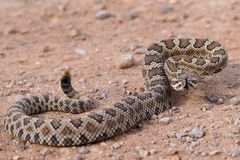 Great Basin Rattlesnake, Crotalus oreganus lutosus Stock Images