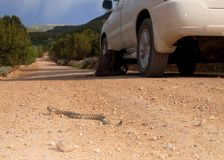 Great Basin Rattlesnake, Crotalus oreganus lutosus, on a country road Royalty Free Stock Image