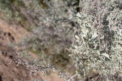 Great Basin Sagebrush Artemisia tridentata royalty free stock photos