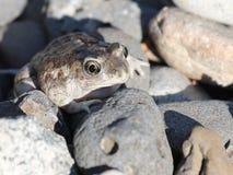 Great Basin Spadefoot in Rocks Stock Photos