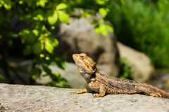 Great Bearded Dragon Stock Photos