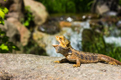 Great Bearded Dragon Royalty Free Stock Photos