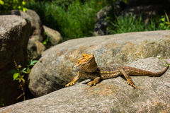 Great Bearded Dragon Stock Image
