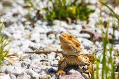 Great Bearded Dragon Stock Photography