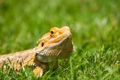 Great Bearded Dragon Stock Images
