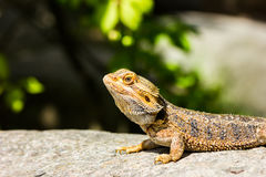 Great Bearded Dragon Royalty Free Stock Images