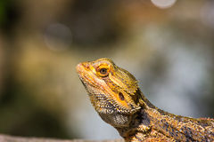 Great Bearded Dragon Stock Photo