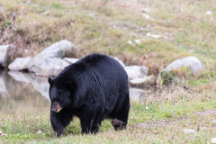 Great Big Black Bear Royalty Free Stock Image
