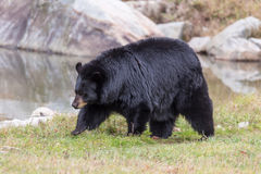 Great Big Black Bear Stock Photos