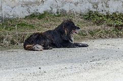 Great big black Newfoundland dog relaxing after a walk in the countryside,  Plana mountain Royalty Free Stock Photo