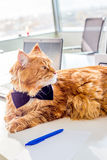 Great Big Maine Coon Cat sitting in his Office and thinking about Future Perspective of His Company Stock Photos