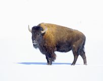 Great Bison. Stock Photos