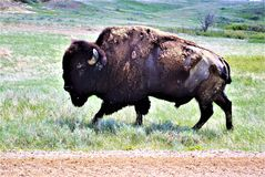 A great Bison grasing. This Bison was just grazing along the road edge in part of the South Dakota Bad Lands. one can tell by his coat that it is spring for he royalty free stock photos