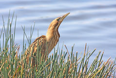 Great Bittern Stock Photography