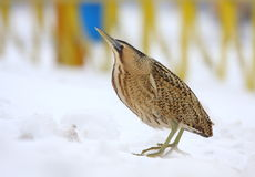 Great Bittern Royalty Free Stock Photo