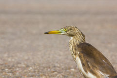 Great Bittern Royalty Free Stock Image