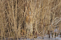 Great Bittern Royalty Free Stock Photography