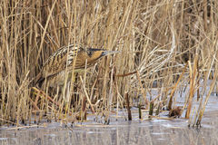 Great Bittern Royalty Free Stock Images