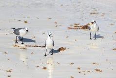 Great Black-backed Gull. (Larus marinus Royalty Free Stock Photo