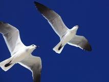Great Black-backed Gull. (Larus marinus Royalty Free Stock Photography