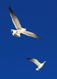 Great Black-backed Gull. (Larus marinus Stock Images