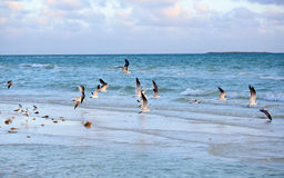 Great Black-backed Gull. (Larus marinus Stock Image