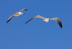 Great Black-backed Gull. (Larus marinus Stock Photography