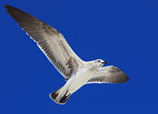 Great Black-backed Gull. (Larus marinus Royalty Free Stock Photos