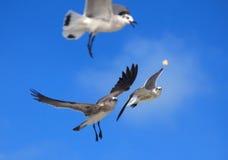 Great Black-backed Gull. (Larus marinus Royalty Free Stock Image