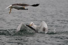 Great black-backed gull catch the fish Royalty Free Stock Images
