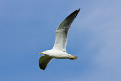 Great Black Backed Gull in flight. Royalty Free Stock Photography