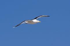 Great black-backed gull in flight Royalty Free Stock Photos
