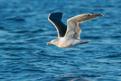Great Black-backed Gull Royalty Free Stock Photo