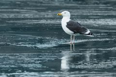 Great Black-backed Gull Royalty Free Stock Photography
