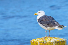 Great Black-backed gull Larus fuscus L. Royalty Free Stock Image