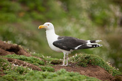 Great Black-Backed Gull (Larus marinus) Royalty Free Stock Images