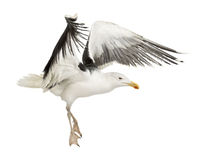 Great Black-backed Gull, Larus marinus Stock Image